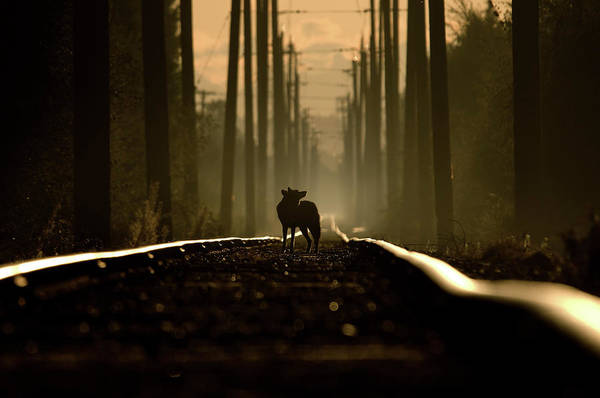 On the tracks of a coyote by Martin Cooper