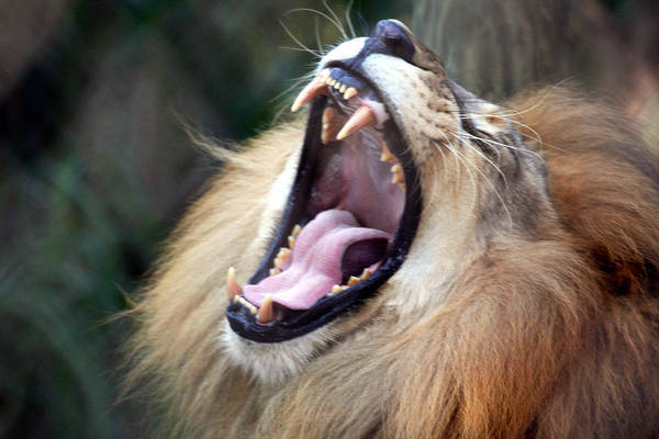 Lions Art Print featuring the photograph Big Mouth by Edward Roman