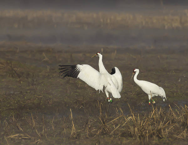 Whooping Crane Pair by David and Sandra Mayes
