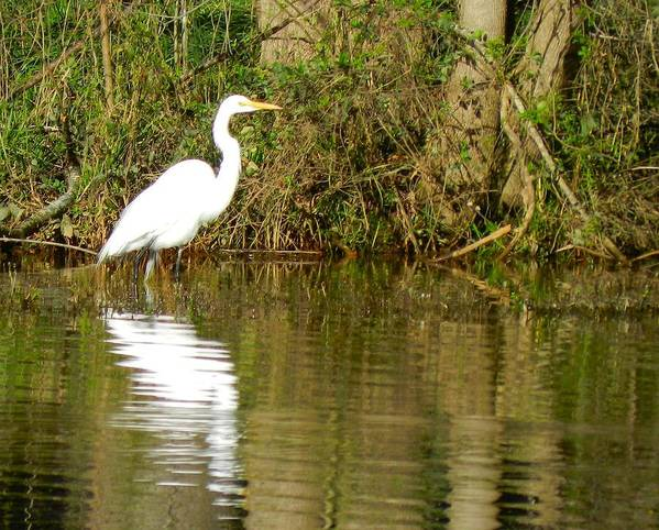 Art Print featuring the photograph Egret by Don L Williams