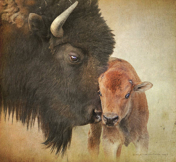 Bison Cow And Calf by R christopher Vest