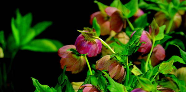 Hellebore Art Print featuring the photograph Hellebore by Patrick Short
