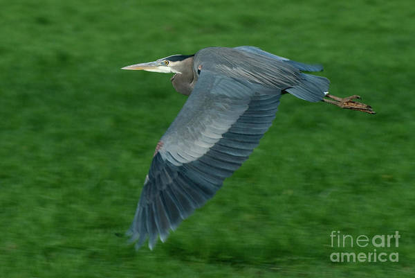 Birds Art Print featuring the photograph Blue Heron by Rod Wiens