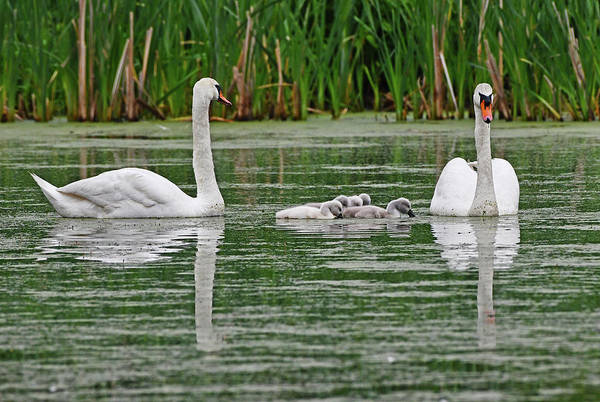Swan Family by Ken Stampfer