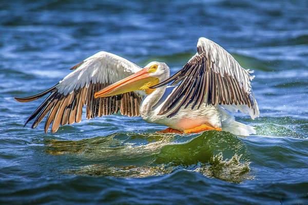 Pelican Lift Off by David Wagenblatt