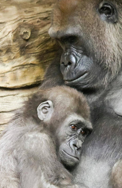 A Baby Gorilla Holds Fast to Its Mother by Derrick Neill