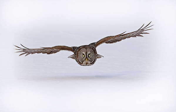 Great Grey Owl Art Print featuring the photograph Great Grey Owl Pictures 24 by Owl Images