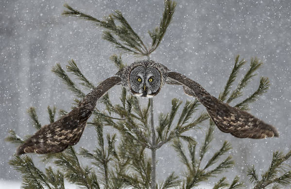 Great Grey Owl Art Print featuring the photograph Great Grey Owl Pictures 16 by Owl Images
