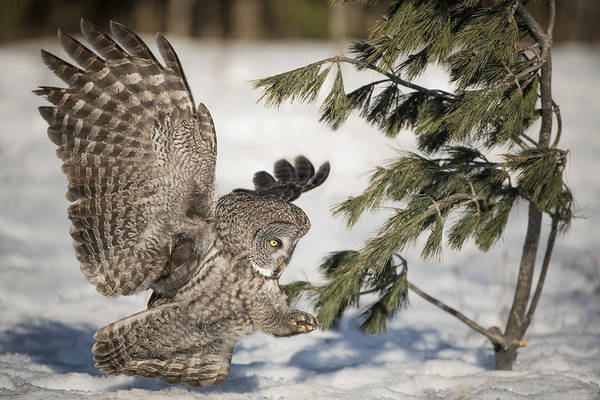 Great Grey Owl Art Print featuring the photograph Great Grey Owl Pictures 23 by Owl Images