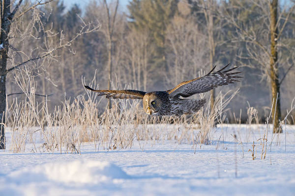 Great Grey Owl Art Print featuring the photograph Great Grey Owl Pictures 47 by Owl Images