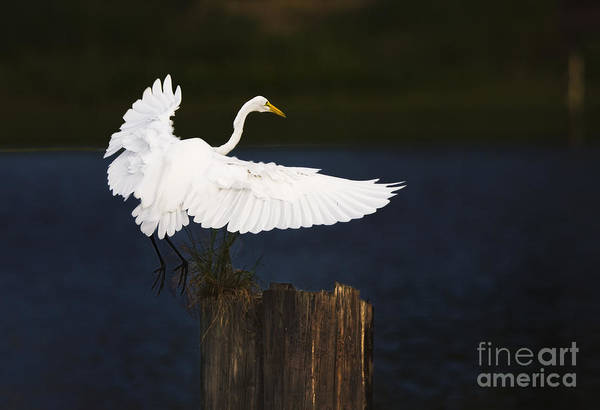 Egrit Art Print featuring the photograph Ready To Roost by Cecil Fuselier