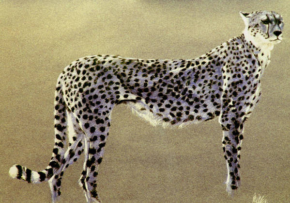 Wildlife Art Print featuring the drawing Cheetah by Paul Miller