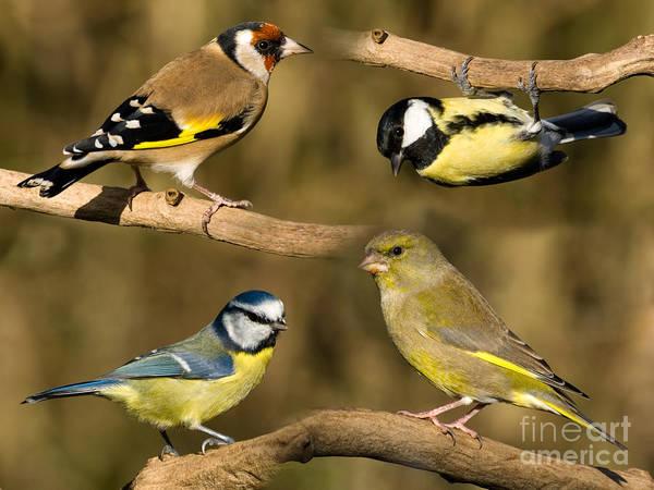 Birds Art Print featuring the photograph British Garden Birds by Steev Stamford