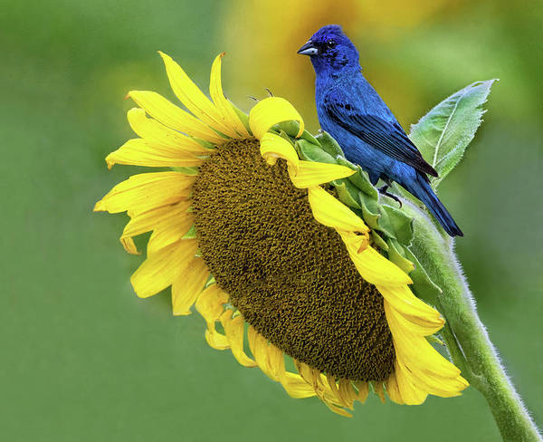 Sunflower Blue by Art Cole