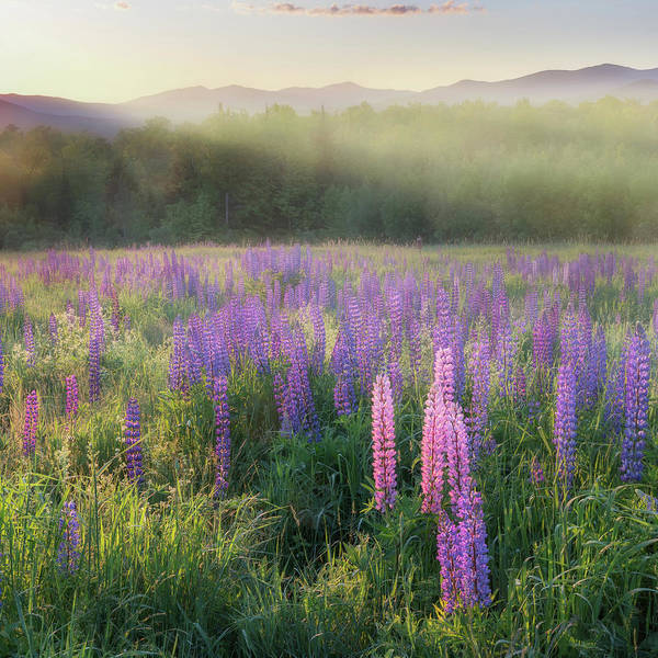 Lupine Morning Fog Square by Bill Wakeley
