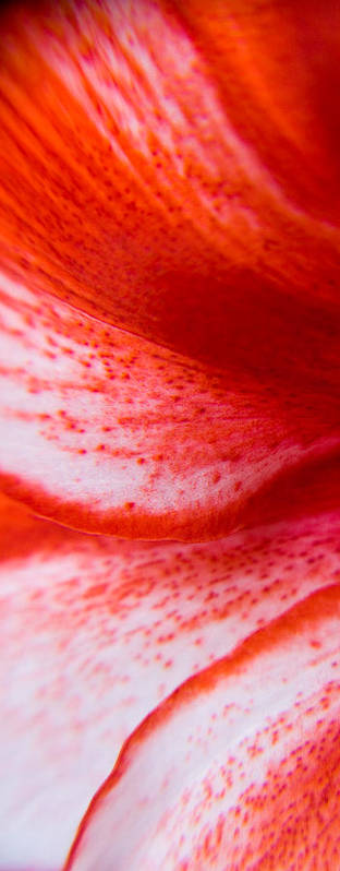 Flower Art Print featuring the photograph Beauty Of A Lily by Kim Lagerhem