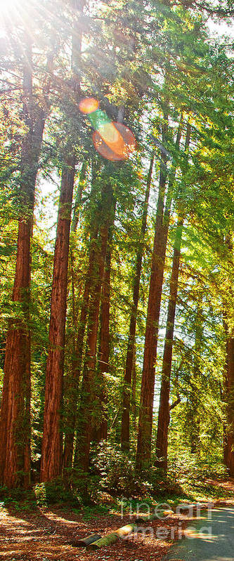 Redwoods Art Print featuring the photograph Redwood Wall Mural Panel 1 by Artist and Photographer Laura Wrede