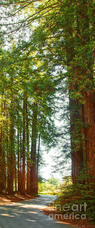 Redwoods Art Print featuring the photograph Redwood Wall Mural Panel 2 by Artist and Photographer Laura Wrede