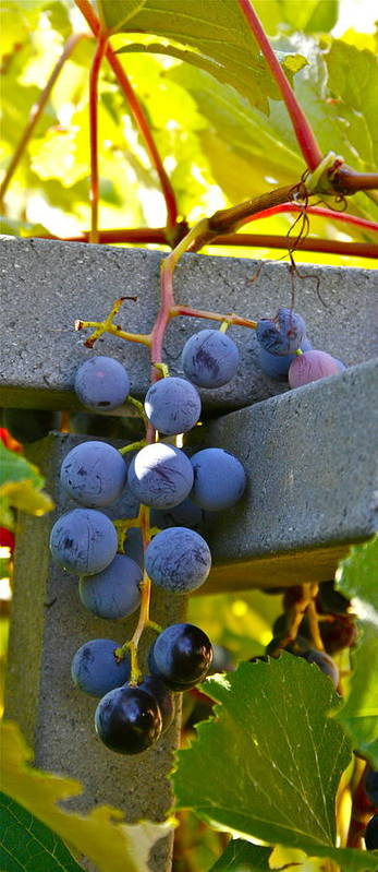 Grapes Art Print featuring the photograph Summer Grapes by Elizabeth Ericson