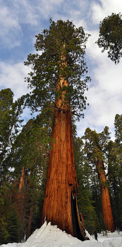 Ia National Park Art Print featuring the photograph General Sherman Tree by Wes Hanson