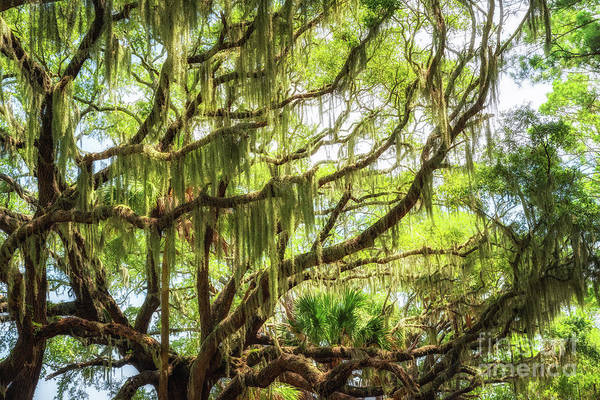 Spanish Moss  by Michael Ver Sprill