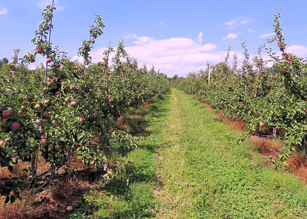 Apple Orchard by Janice Drew