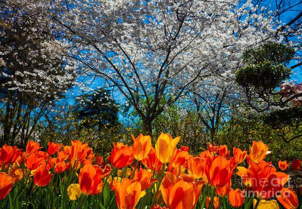 Dallas Arboretum Tulips and Cherries by Inge Johnsson