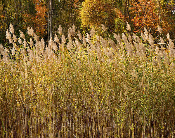 Autumn sunlight on marsh reeds by Marianne Campolongo