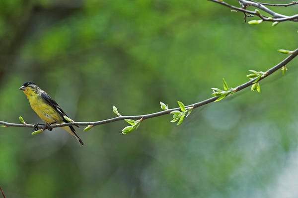 Lesser Goldfinch on Branch I by Ana Gonzalez