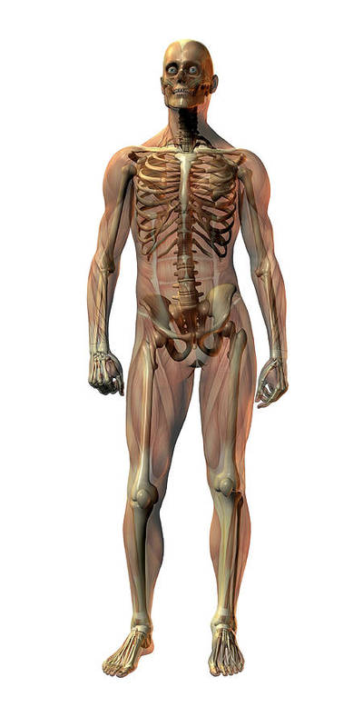 Skeleton Art Print featuring the photograph Male Skeleton by Friedrich Saurer