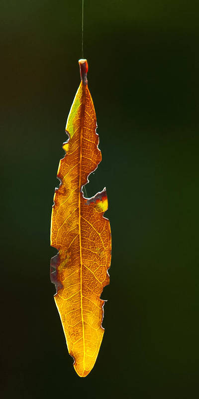 Leaf Art Print featuring the photograph Hanging By A Thread by Don Durfee