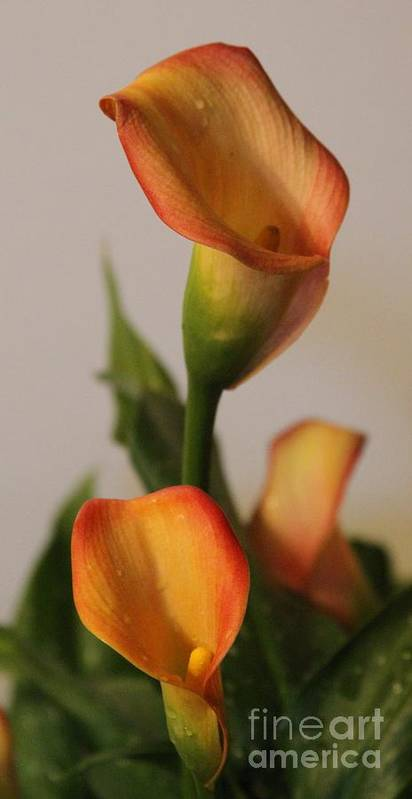 Flower Print featuring the photograph Calla Lilies by Cathy Lindsey