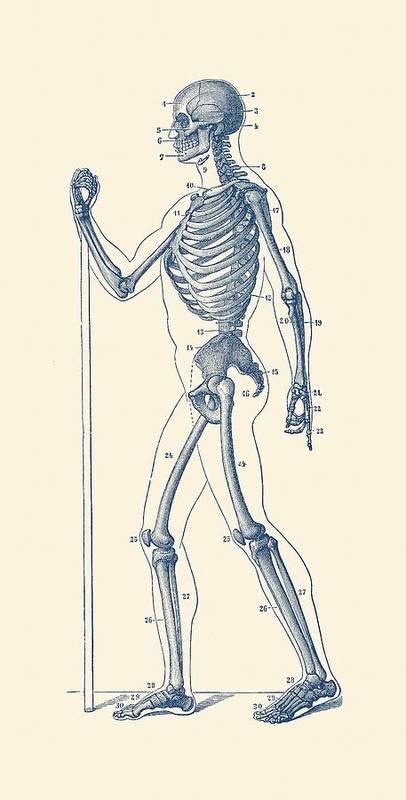 Side View Skeletal Diagram Vintage Anatomy Poster Art Print By