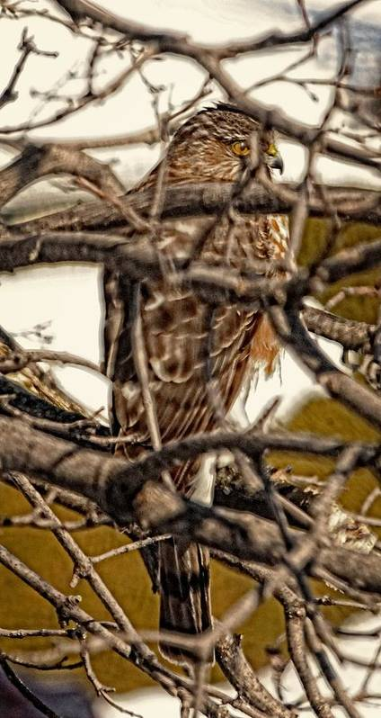 Hawk Art Print featuring the photograph Hawk King Outside My Window by Graham Storms