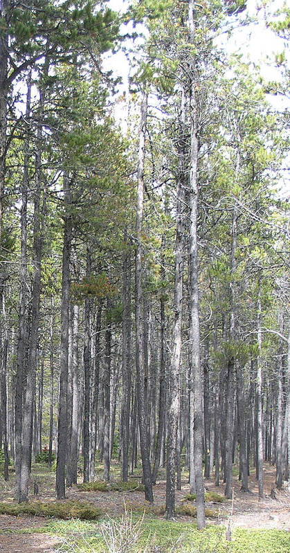 Trees Art Print featuring the photograph Trees In The Absarokee Beartooth Wilderness Area by Janis Beauchamp