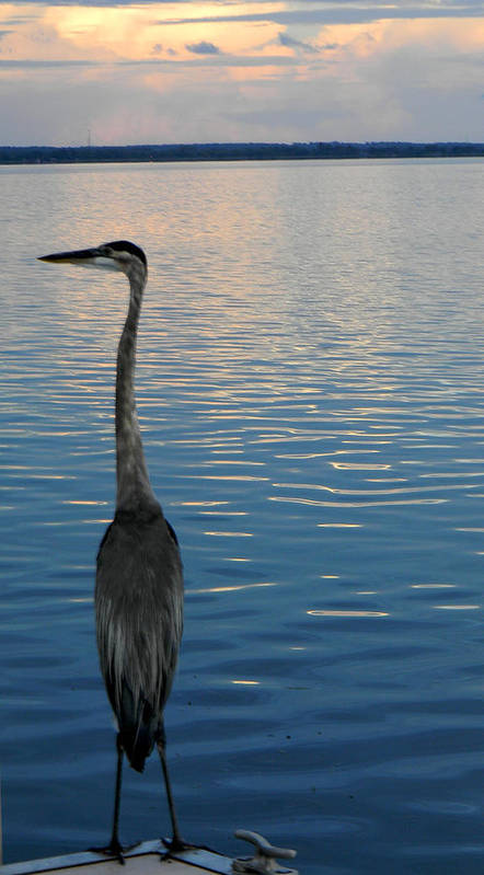 blue Heron Art Print featuring the photograph Great Blue Dusk by Christy Usilton