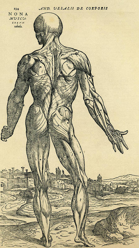 Back Of Male Human Body Anatomical Art Print By Vintage Design Pics