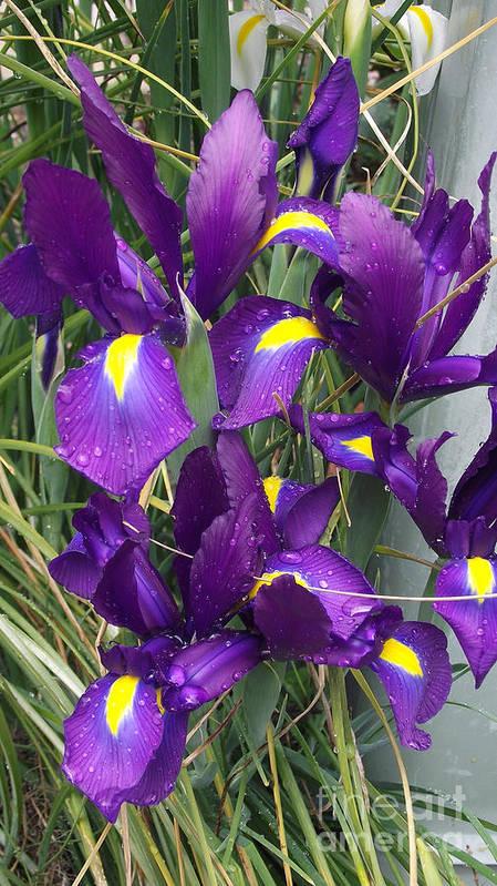 Flowers Art Print featuring the photograph Purple Iris by Gail Salitui