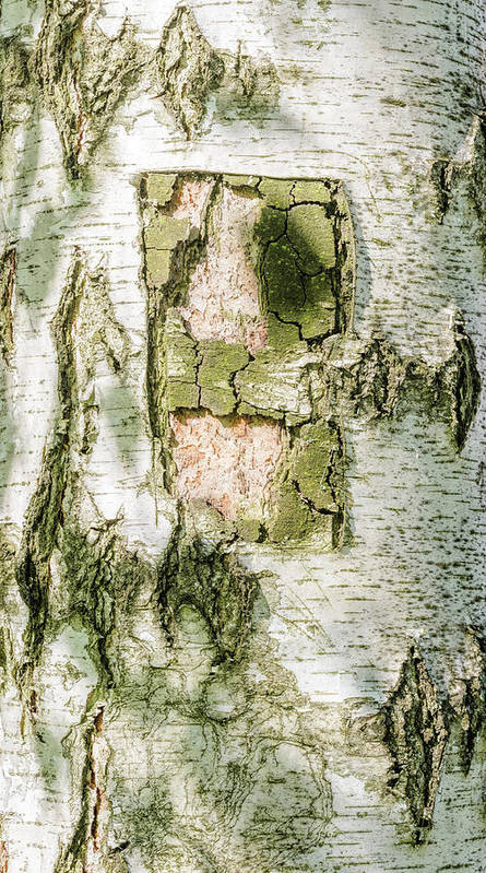 Abstract Art Print featuring the photograph Detail Of Brich Bark Texture by Alain De Maximy