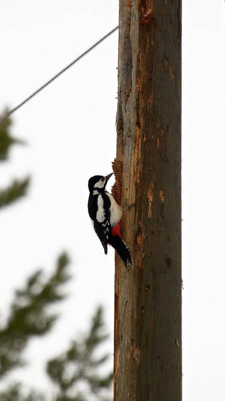 Lehtokukka Art Print featuring the photograph Great Spotted Woodpecker by Jouko Lehto
