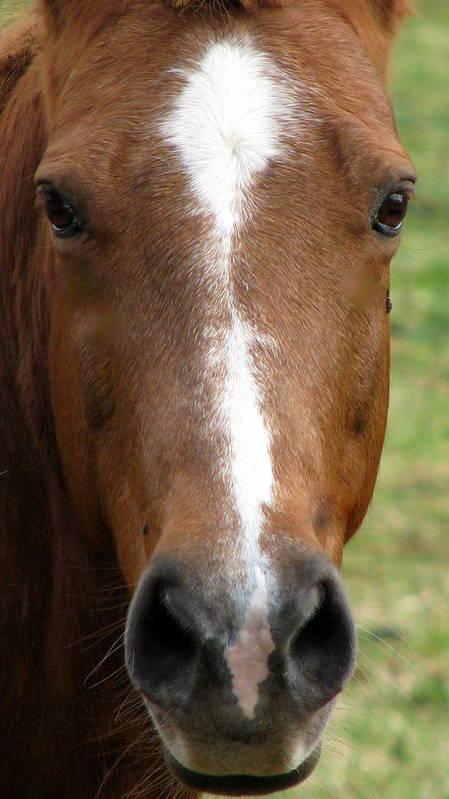 Horse Art Print featuring the photograph I Smell Apple by Joseph Battaglia