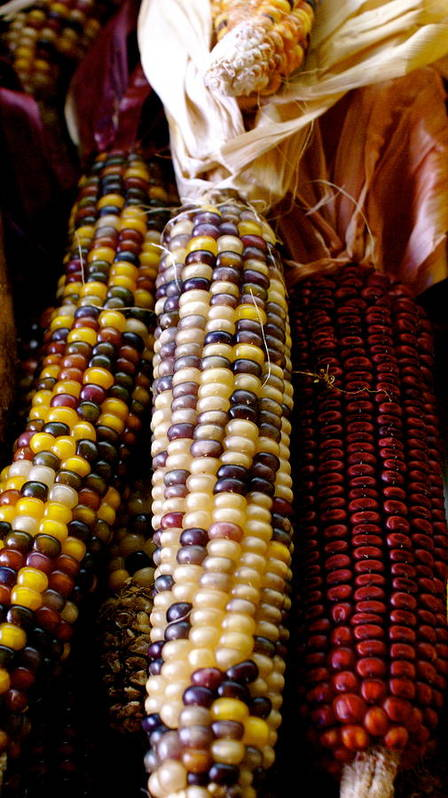 Farmers Market Art Print featuring the photograph Indian Corn by Sonja Anderson