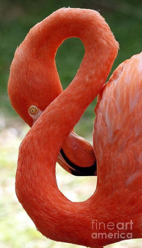 Flamingo Art Print featuring the photograph Flamingo Eight by Beth Phifer