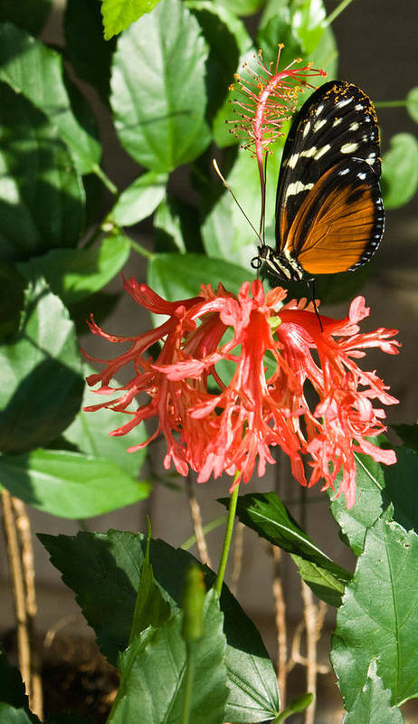 Tropical Art Print featuring the photograph Tropical Butterfly On Flower by Douglas Barnett
