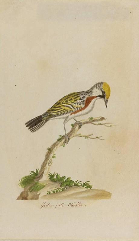 John Abbot Art Print featuring the drawing Yellow Poll Warbler by John Abbot