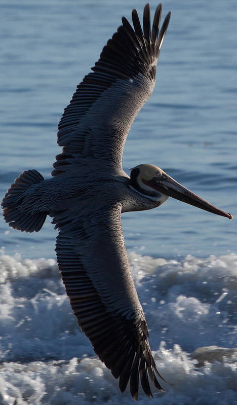 Pelican Art Print featuring the photograph Pelican Flight by John Daly