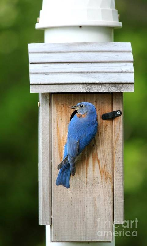 Nature Art Print featuring the photograph Eastern Bluebird by Jack R Brock