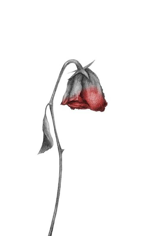 Dying Rose Art Print By Drawings Drawer