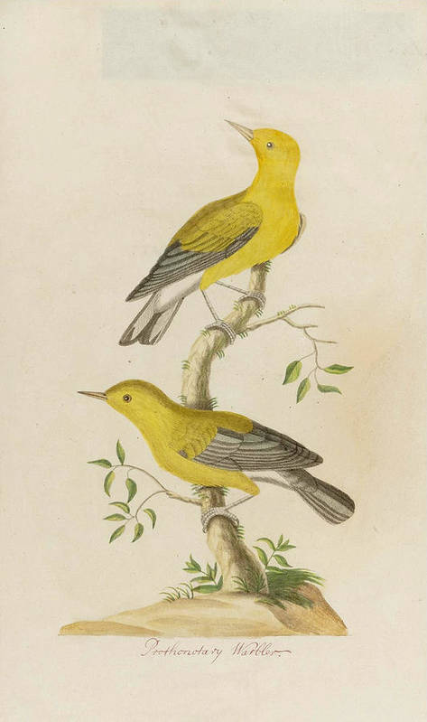 John Abbot Art Print featuring the drawing Prothonotary Warbler by John Abbot