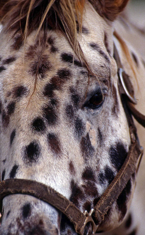 Horse Art Print featuring the photograph Appaloosa by Skip Willits